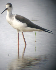 Black Wing Stilt - digiscope