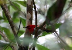 Temminks Sunbird