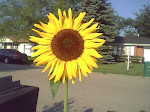 Mail Box Sunflower