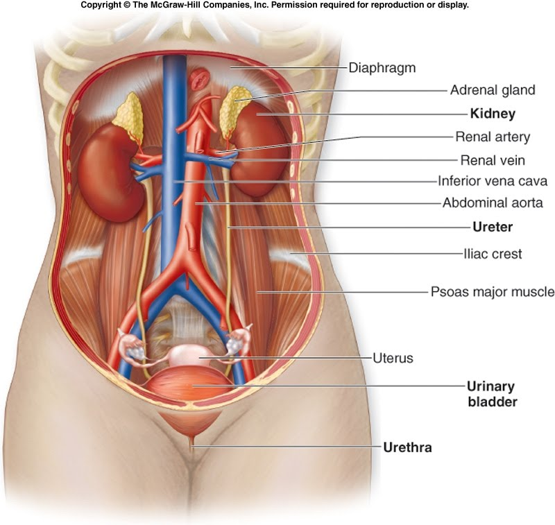 Mrs wiyguls class blog urinary and reproductive system and pregnancy urinary and reproductive system and pregnancy ccuart Gallery
