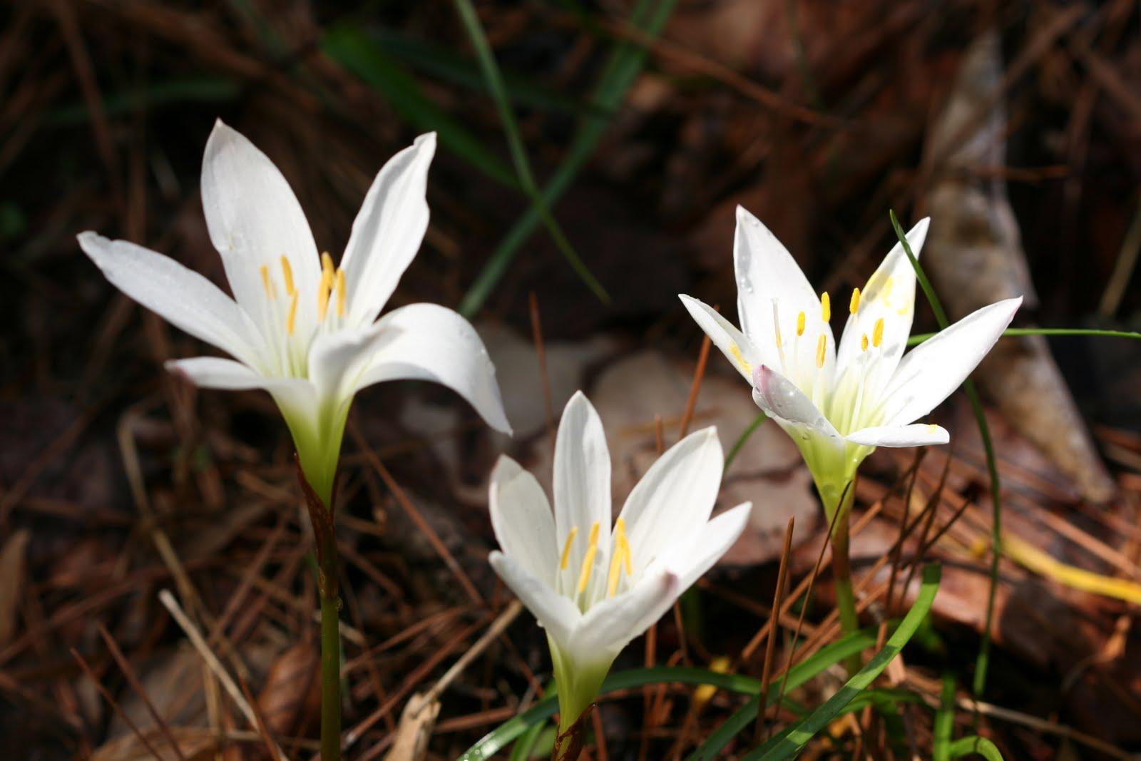 Native Florida Wildflowers Atamasco Rain Lily Zephyranthes Atamasca