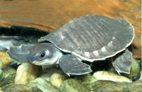 12 kura-kura terunik Carettochelysinsculpta