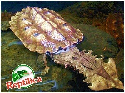 12 kura-kura terunik Chelusfimbriatus