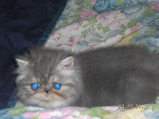 Blue Silver Tabby Persian/ELH Female (Neutered)