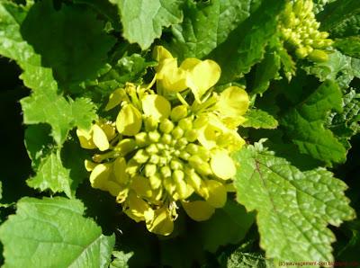 Moutarde blanche ou sénevé