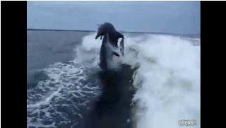 Dos delfines chocan en el aire vídeo