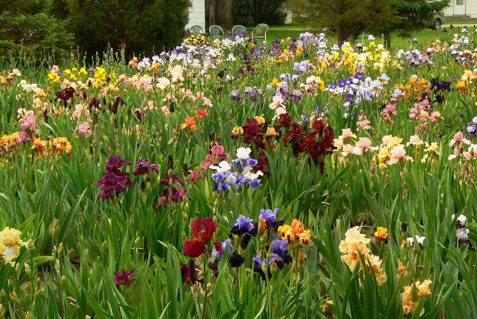 Tinau0027s Iris Garden   Billings