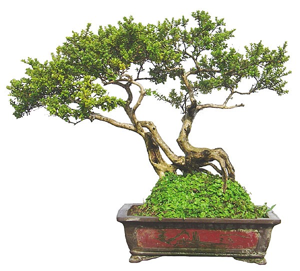 Chinese bonsai how do chinese bonsai trees stay so small for Trees that stay small