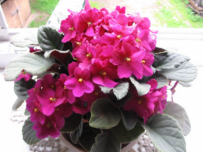 цветение сенполий