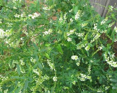трава медонос белый донник