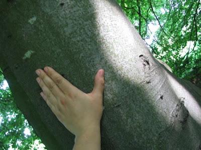 бук дерево