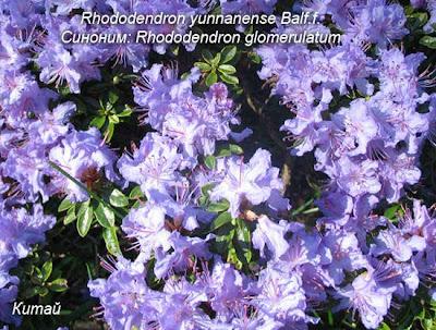 сорта рододендронов, листопадныые рододендроны, рододендрон японский, цветок, азалия фото