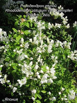 Рододендрон мягкий - родом из Китая ...: onlinecrazygarden.blogspot.com/2008/06/2.html