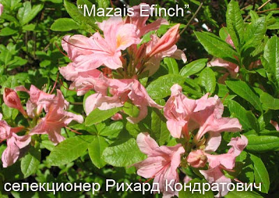 сорта азалий, сорта рододендронов, рододендрон листопадный, роддендрон фото, цветущие рододендоны,  рододендрон, азалия
