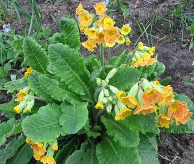 первоцвет весенний, лекарственные травы, лекарственные растения, примула