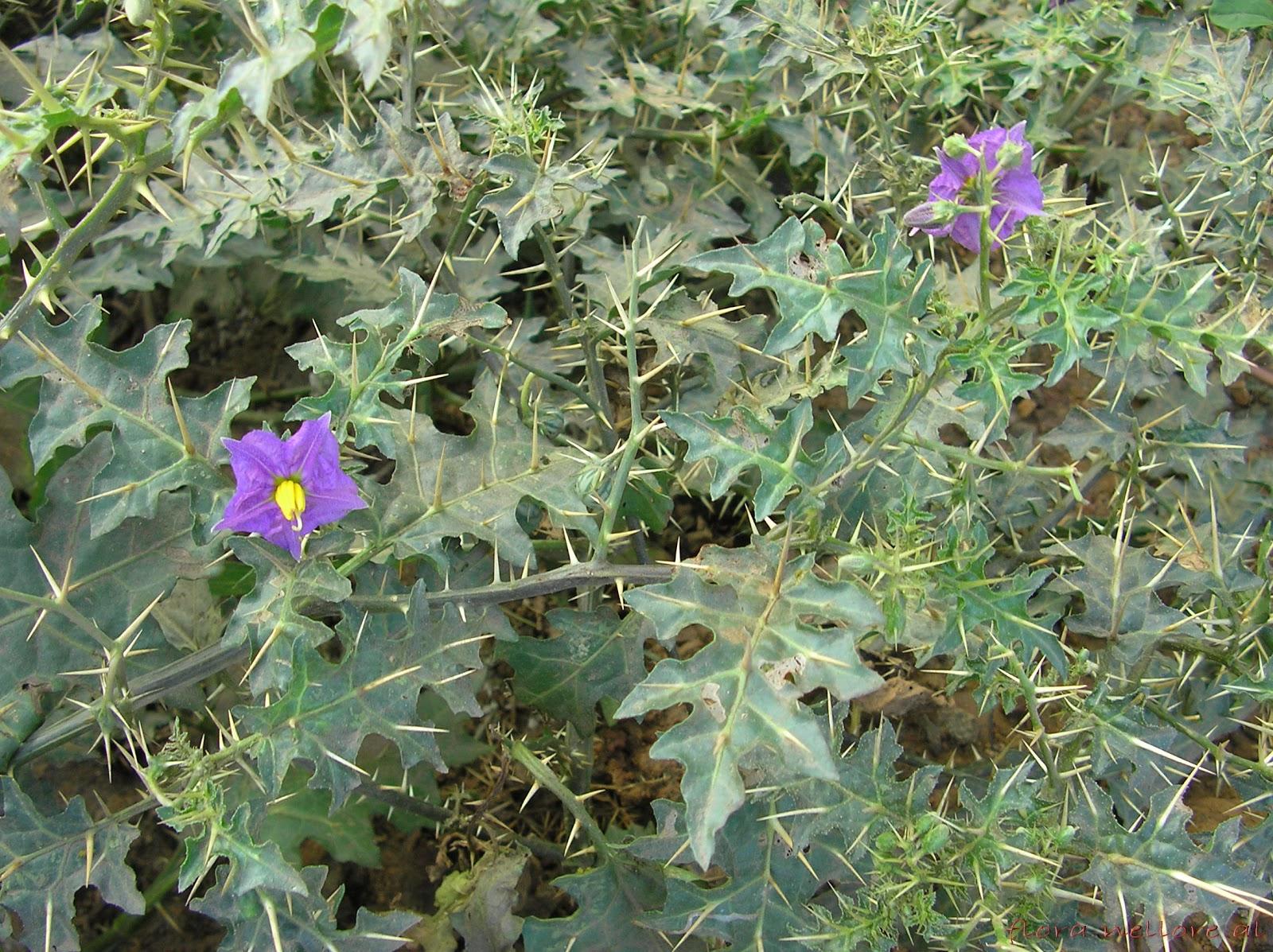 Ganesh chaturthi flowers may flower blog - Solanum Surattense