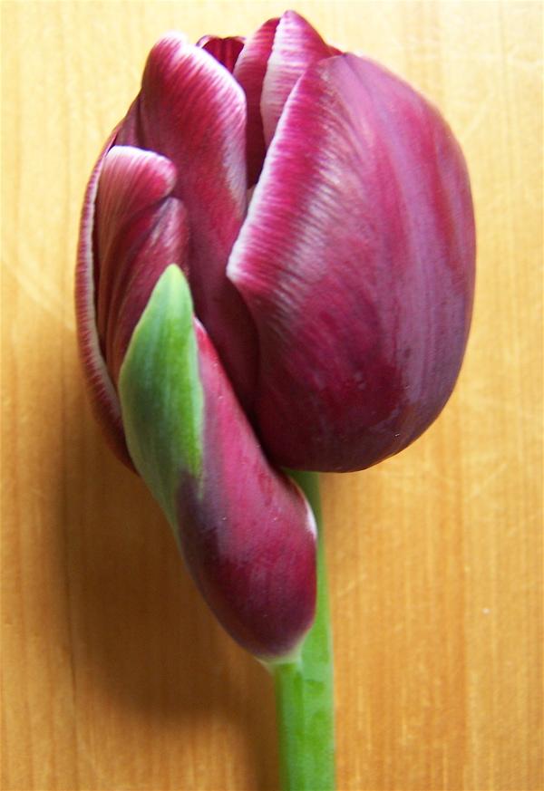 [tulip]