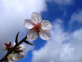 http://3.bp.blogspot.com/_ULlrRqaTQ_0/TJozOkSc9KI/AAAAAAAABsA/5tQdjE_k5MU/s1600/flor-de-amendoeira%5B1%5D.jpg