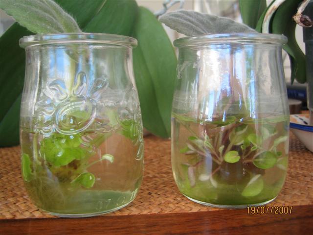 Reproduccion asexual de las plantas por esquejes de violetas