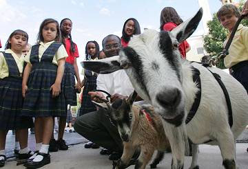 this goat is going to Haiti