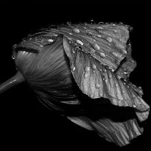la pureza esta en el rocio... asi es la esencia de la rosa...