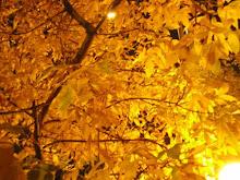 follaje de oro... otoño amarillo...