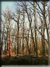Desnudos alamos abandonados al tiempo... majestuosos tocan los cielos y a dios...