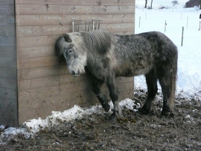 Islandske heste ved fulden