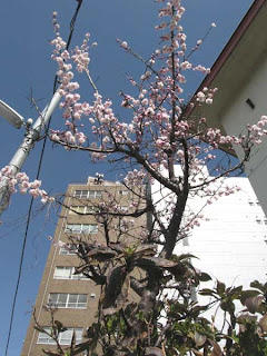 Plum blossom, Nakano ward, Tokyo.