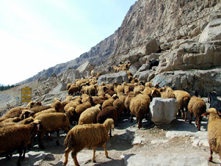 Kermanshah sheep