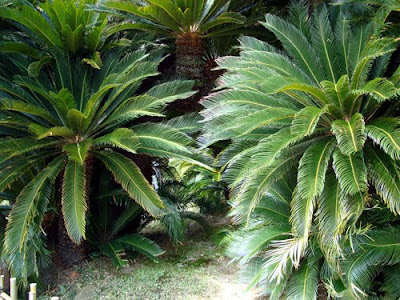 Ritsurin Koen Cycads