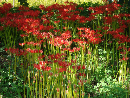 Higan-bana Lycoris