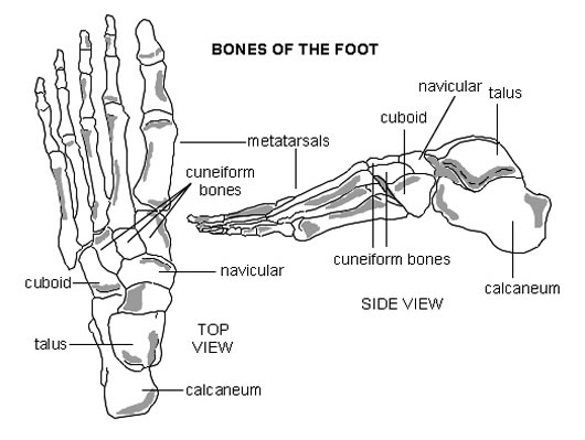 anatomy of foot. Foot merge design