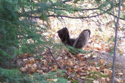 Ruffed Grouse at Bow Narrows, Red Lake