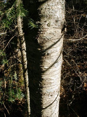 balsam fir trunk