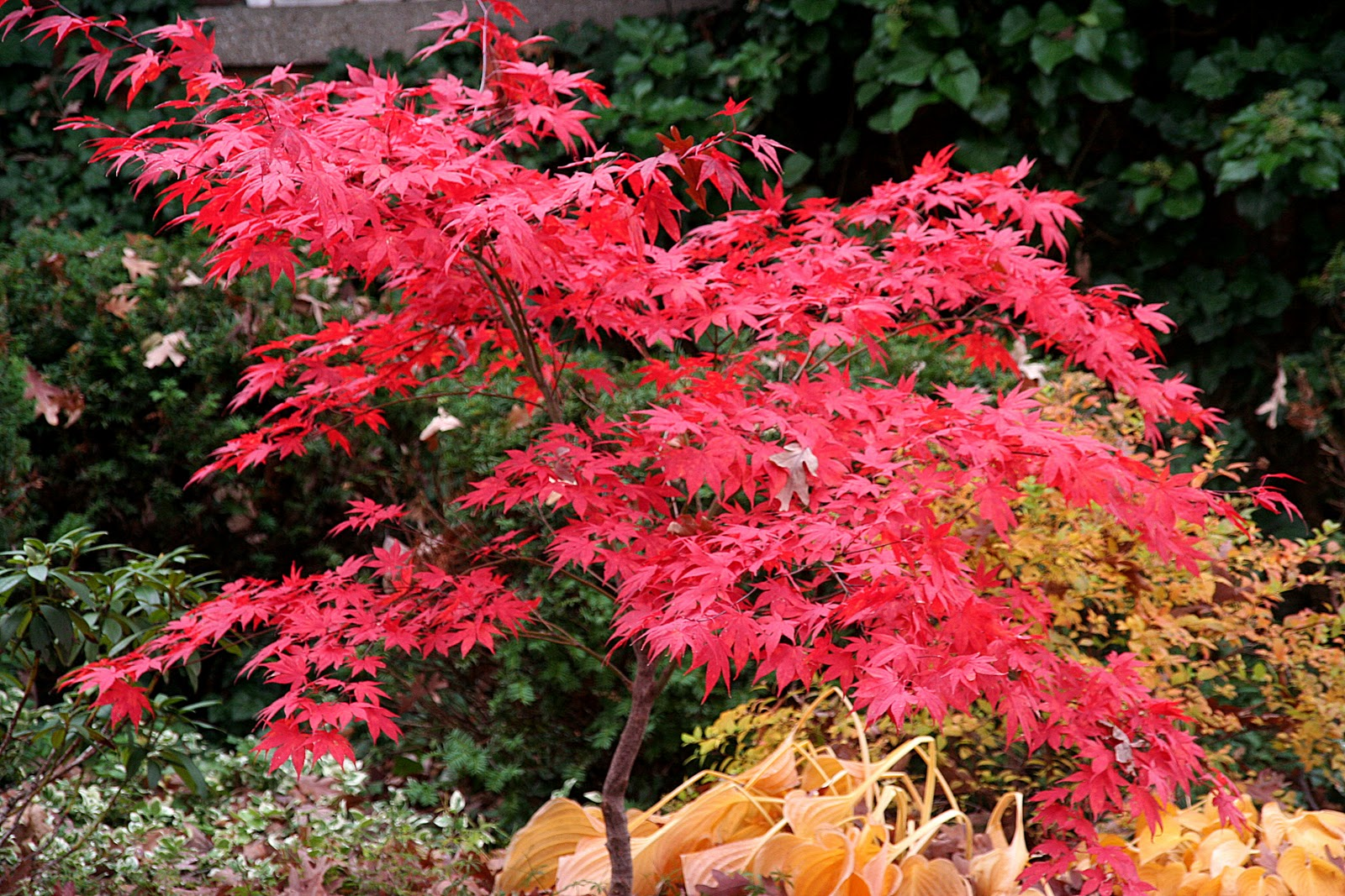 A Blood Good Japanese Maple.