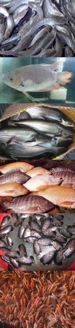 Jual Ikan Konsumsi