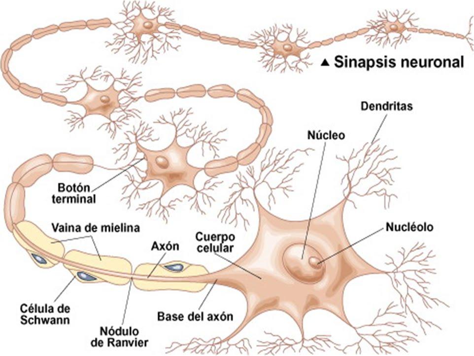 Tejidos Básicos: Tejido muscular y nervioso