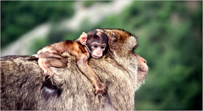 Barbary macaque male with infant riding his back