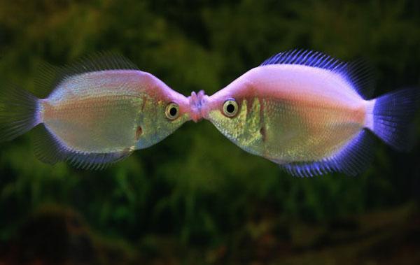 Magick river 5 30 10 6 6 10 for Kissing gourami fish