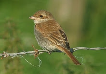 Red-backed Shrike, High Newton, September 2008