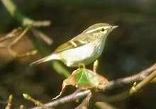 Yellow-browed Warbler, High Newton, September 2008