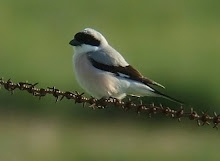 Lesser Grey Shrike, Long Nanny, June 2008