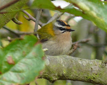 Firecrest, Newton Pool, October 2009