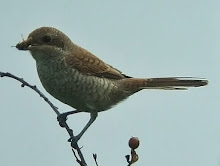 Red-backed Shrike, Newton Pool, August 2010