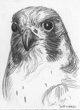 peregrin falcon sketch aceo