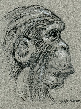 chimpanzee sketch