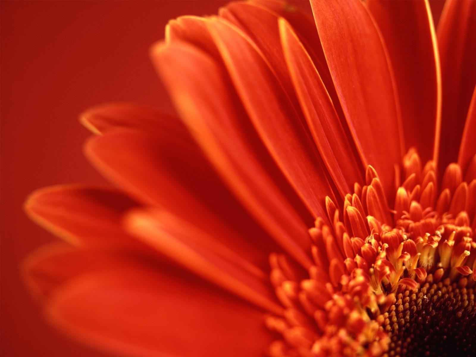 http://3.bp.blogspot.com/_U_sZXxdN2AE/TS9D6mTIbYI/AAAAAAAAAWk/7PVoF9Kzoq0/s1600/vista-red-flower-wallpapers_3528_1600x1200.jpg