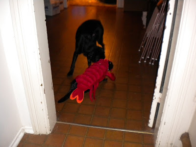Mr. Lobster Kitty walking past Dagan, who is sniffing his lobster-ness