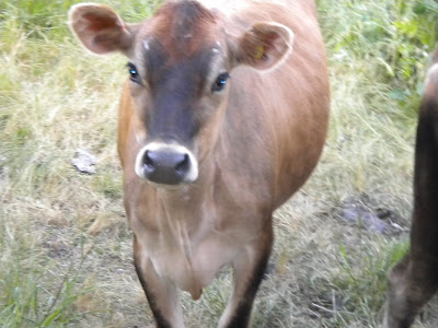 Close up of the brown cow